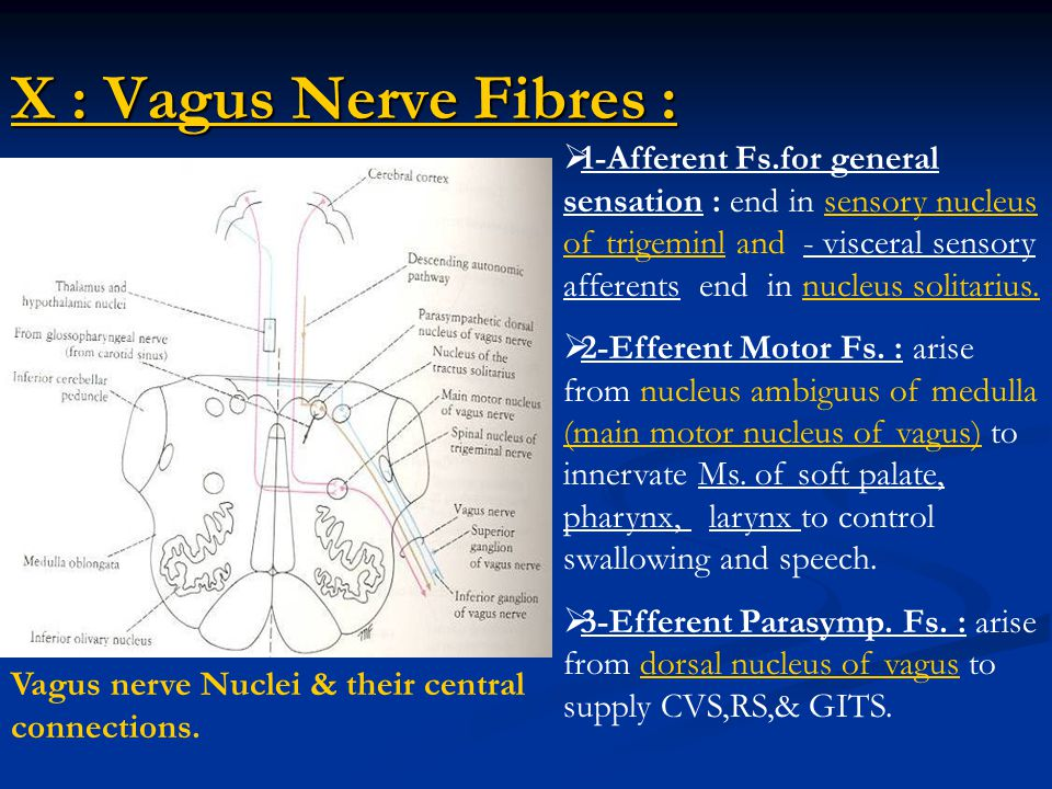 Vagus Nerve Diagram x Vagus Nerve Fibres Vagus