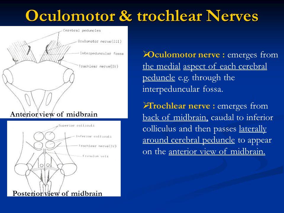 Somatic efferent Nerve Nuclei :  Abducent nucleus : lies in the caudal pons, beneath floor of 4 th vent.