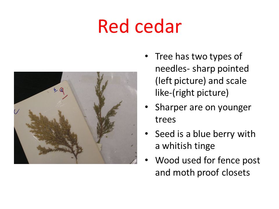 Red cedar Tree has two types of needles- sharp pointed (left picture) and scale like-(right picture) Sharper are on younger trees Seed is a blue berry with a whitish tinge Wood used for fence post and moth proof closets