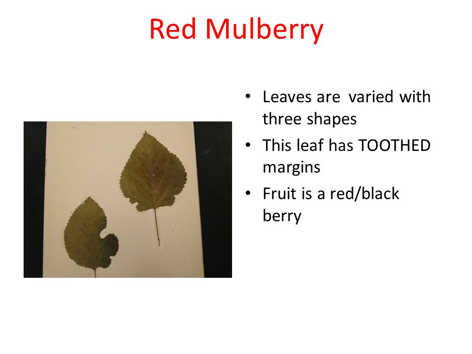 Red Mulberry Leaves are varied with three shapes This leaf has TOOTHED margins Fruit is a red/black berry