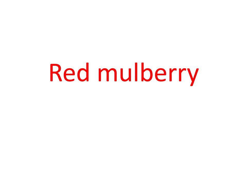 Red mulberry