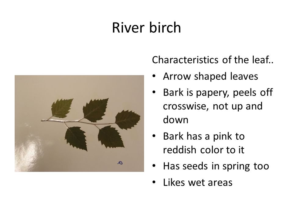 River birch Characteristics of the leaf..