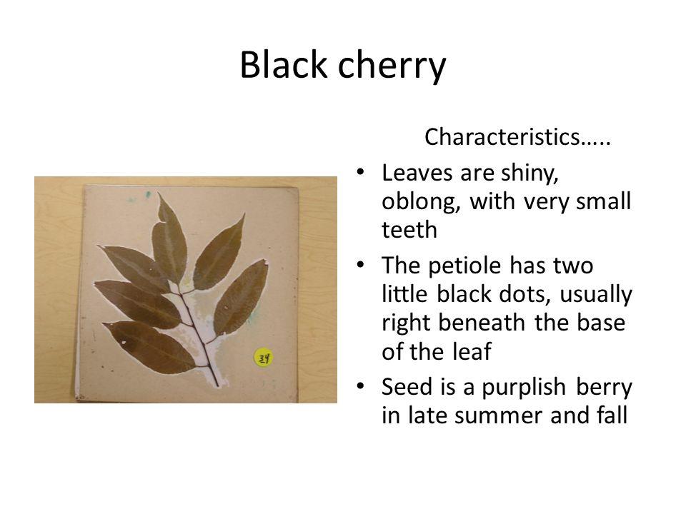 Black cherry Characteristics…..