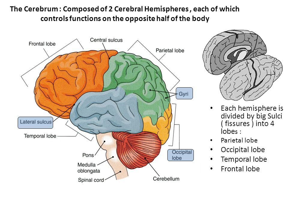 Sulci that divide the cerebrum into lobes Central Sulcuds ( Rolandic Fissure ) : separaetes Parietal & Fontal lobes Lateral Sulcus ( Sylvian Fissure ) separates Parietal & Temporal Lobes Parieto-Occipital Sulcus : Separates Parietal and Occipital Lobes.