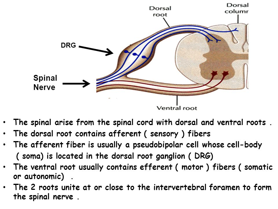 Spinal cord fig 6-41 Gray matter: cell bodies & synapses White matter: ascending & descending tracts Ventral root: efferent pathways Dorsal root: afferent pathways Dorsal root ganglion: cell bodies of afferent neurons