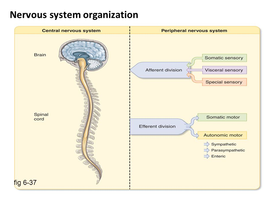 Classification of the Nervous System The nervous system ( NS) can be classified in more than one way : (I) Central & Peripheral NS (A) Central Nervous System (CNS) : consisting of the brain and spinal cord, and (B) Peripheral Nervous System (PNS ) : Fibers outside the CNS (II) Sensory & Motor NS (A)Sensory : includes (i) sensory ( afferent ) fibers, ascending ( sensory ) pathways, & brain sensory centers (B) Motor : includes brain motor centers, descending (motor ) pathways & motor ( efferent ) fibers.