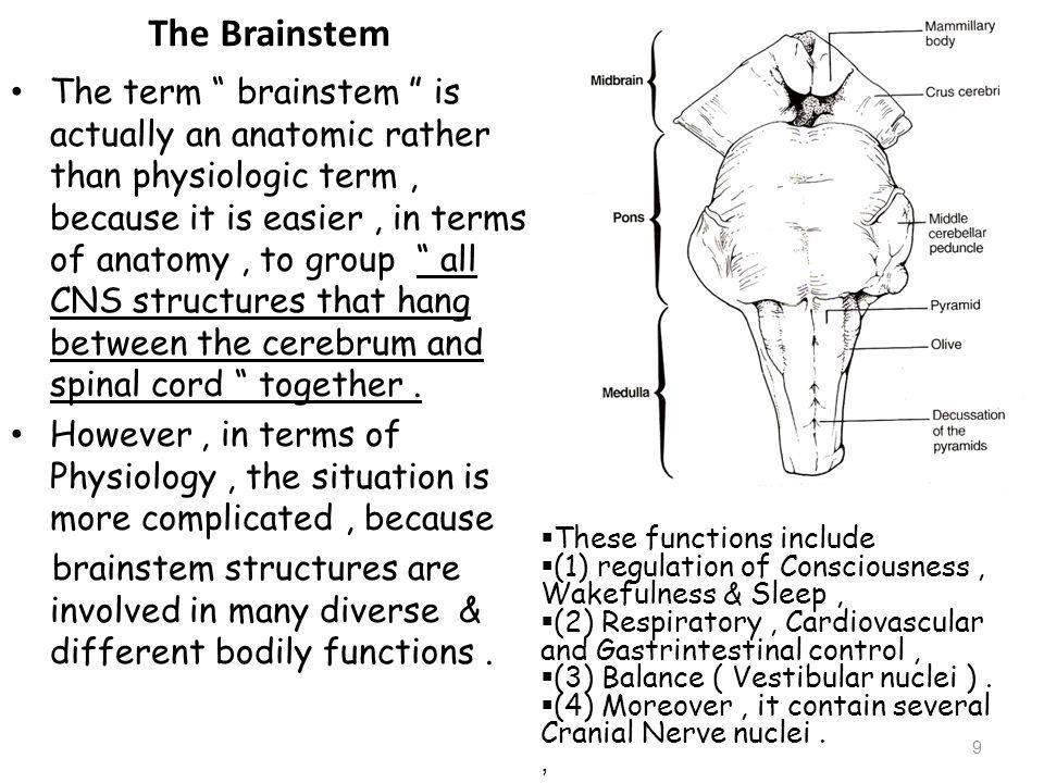 Cerebrum 10