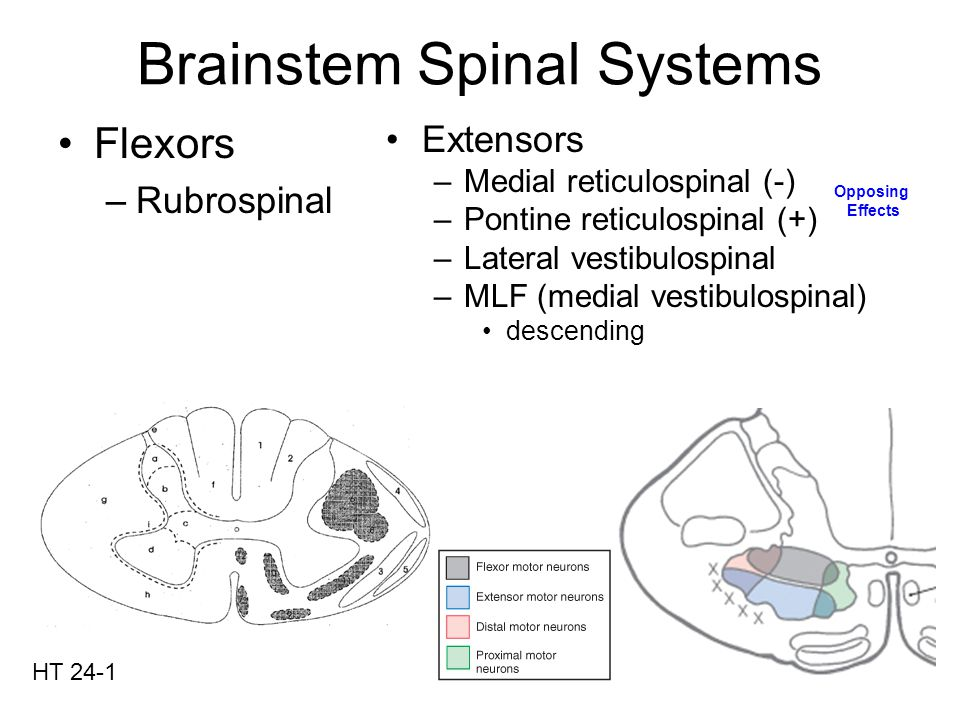 Ipsilateral (primarily) Throughout spinal cord Extensors (primarily) Pontine RF medial (+) –Excitatory input to excitatory interneurons Medullary RF lateral (-) –Excitatory input to inhibitory interneurons RF has cortical input Pontine RF has pain input from ALS HT 2-9 Blue-from Pontine Red-from Medulla (dashed – some project Contralateral – we'll ignore) Reticulospinal System