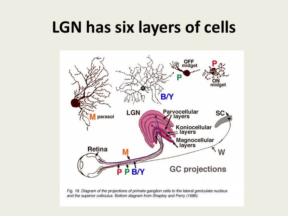 LGN has six layers of cells