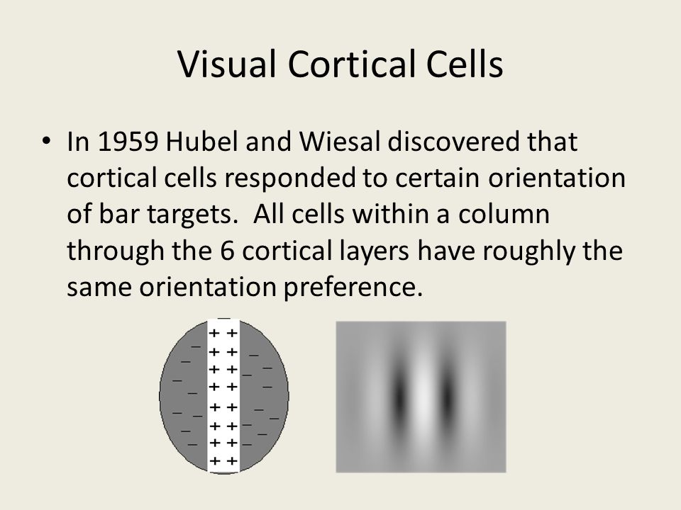 Visual Cortical Cells In 1959 Hubel and Wiesal discovered that cortical cells responded to certain orientation of bar targets. All cells within a colu
