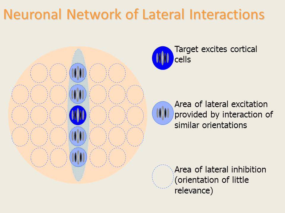 Neuronal Network of Lateral Interactions Target excites cortical cells Area of lateral excitation provided by interaction of similar orientations Area