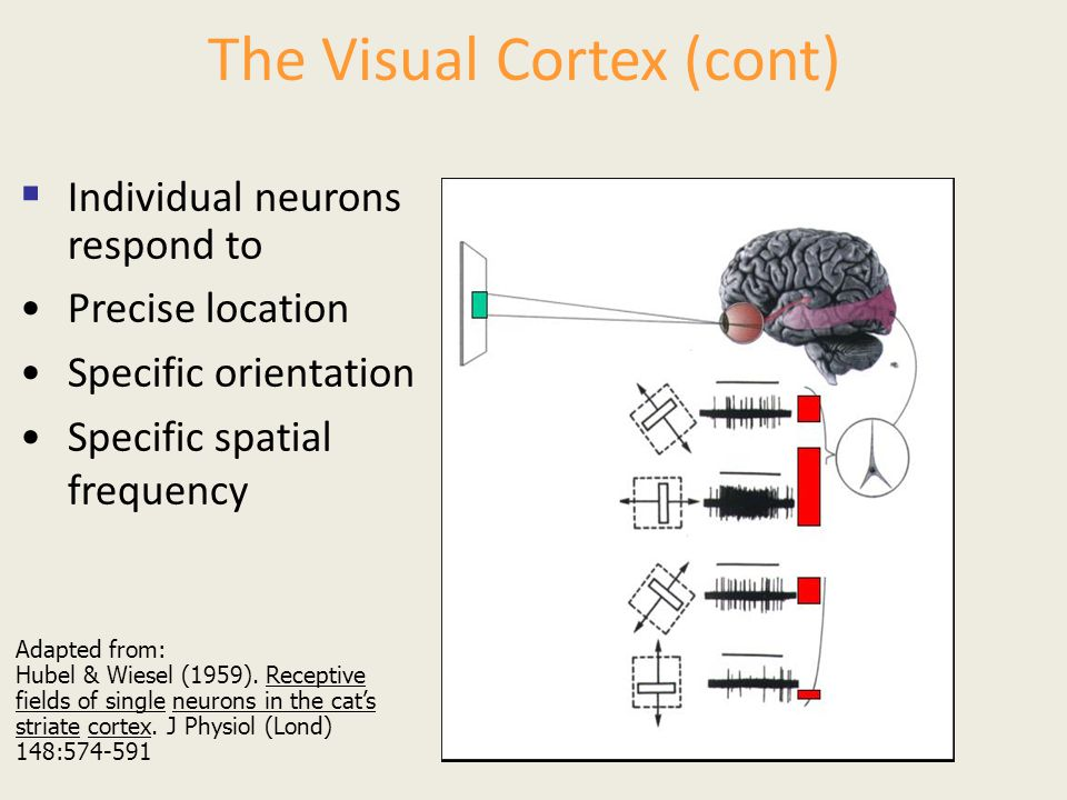 The Visual Cortex (cont)  Individual neurons respond to Precise location Specific orientation Specific spatial frequency Adapted from: Hubel & Wiesel