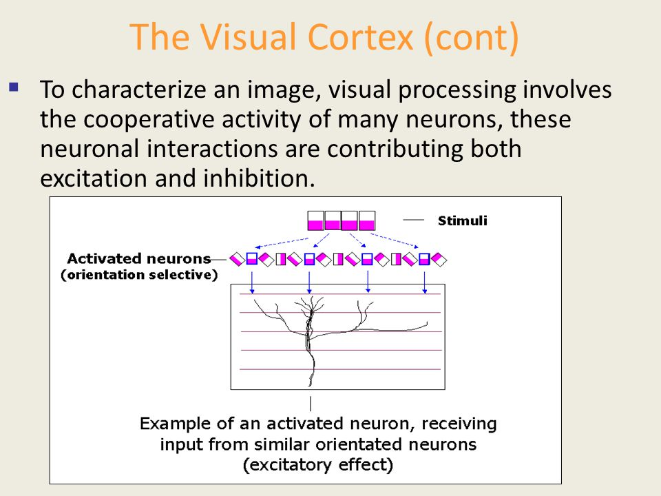 The Visual Cortex (cont)  To characterize an image, visual processing involves the cooperative activity of many neurons, these neuronal interactions