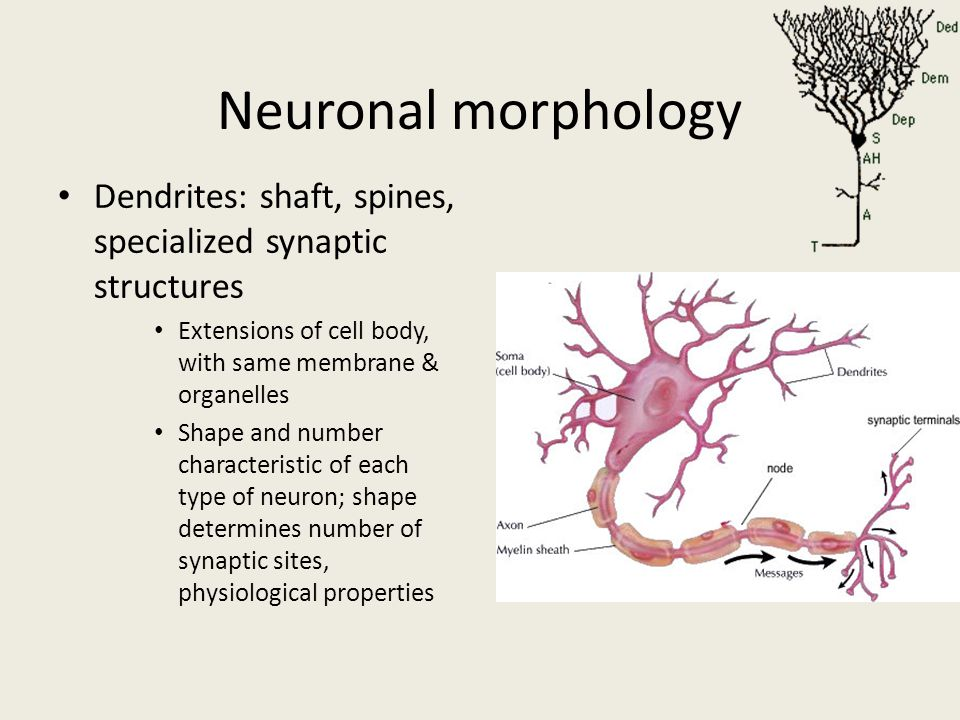Neuronal morphology Dendrites: shaft, spines, specialized synaptic structures Extensions of cell body, with same membrane & organelles Shape and numbe