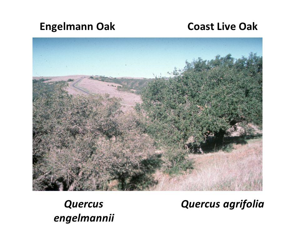 Coast Live OakEngelmann Oak Quercus agrifoliaQuercus engelmannii
