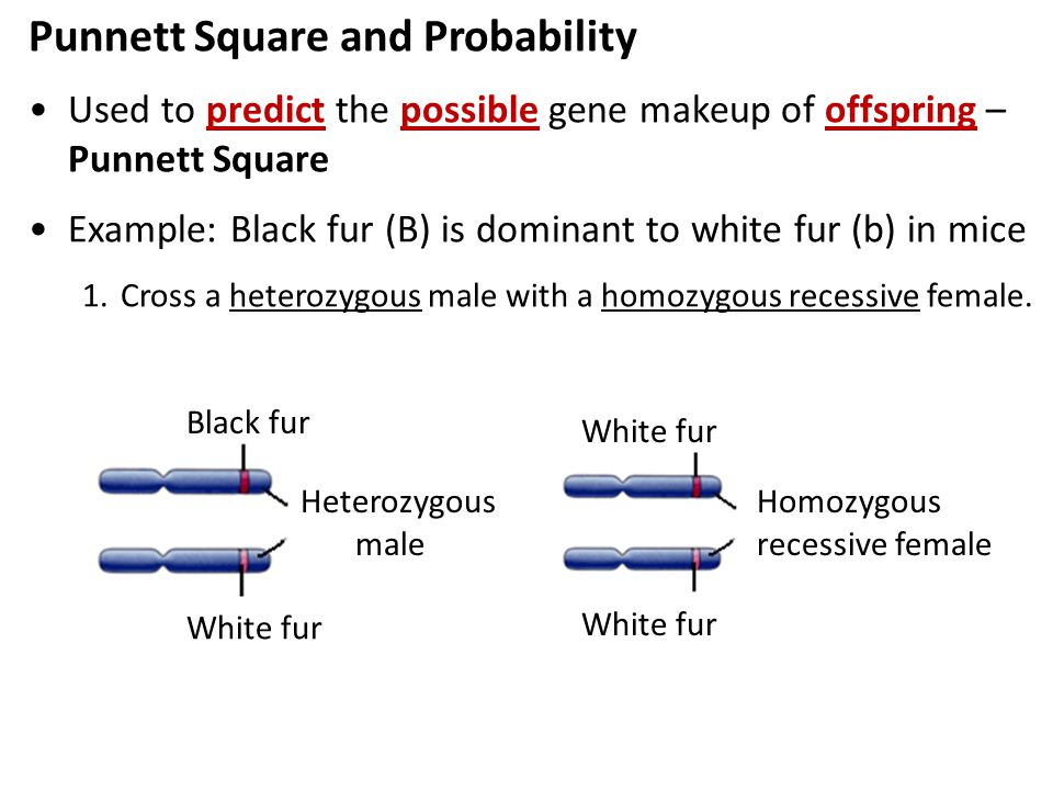 White fur (b) Punnett Square and Probability Used to predict the possible gene makeup of offspring – Punnett Square Example: Black fur (B) is dominant to white fur (b) in mice 1.Cross a heterozygous male with a homozygous recessive female.