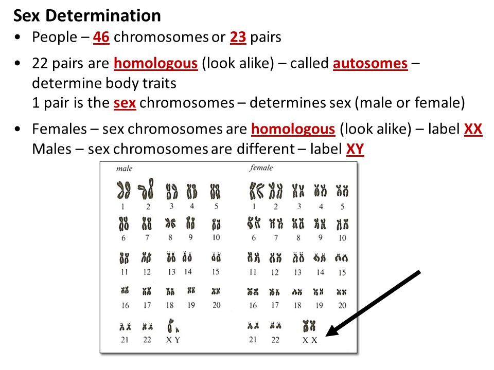 Sex Determination People – 46 chromosomes or 23 pairs 22 pairs are homologous (look alike) – called autosomes – determine body traits 1 pair is the sex chromosomes – determines sex (male or female) Females – sex chromosomes are homologous (look alike) – label XX Males – sex chromosomes are different – label XY