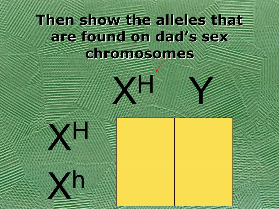 Then show the alleles that are found on dad's sex chromosomes XHXH Y XHXH XhXh
