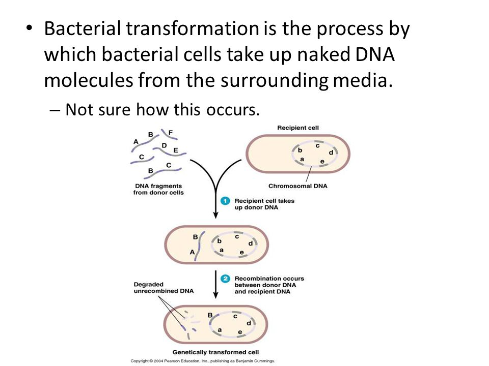 3.1 Regulation in the cell cycle