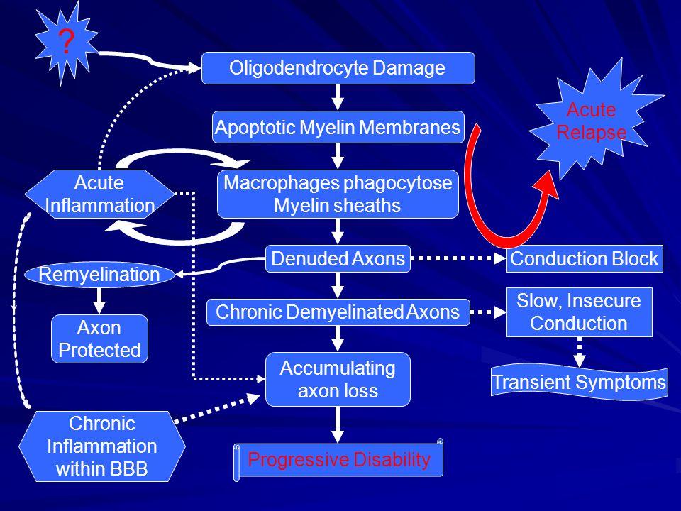 Oligodendrocyte Damage Apoptotic Myelin Membranes Macrophages phagocytose Myelin sheaths Denuded Axons Chronic Demyelinated Axons Accumulating axon lo