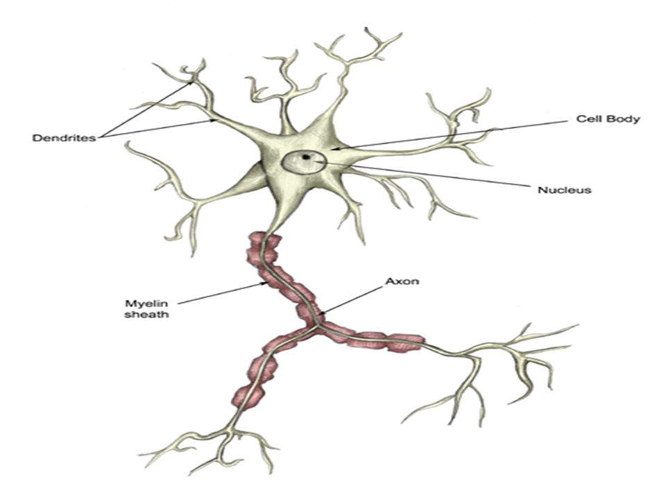  Damage of the myelin  PNS & CNS  Inherited or acquired  CNS: multiple sclerosis, acute dissaminated encephalomyelitis, neuromyelitis optica  PNS: acute inflammatory demyelinating polyneuropathy (Guillain Barre syndrome), chronic inflammatory demyelinating polyneuropathy.