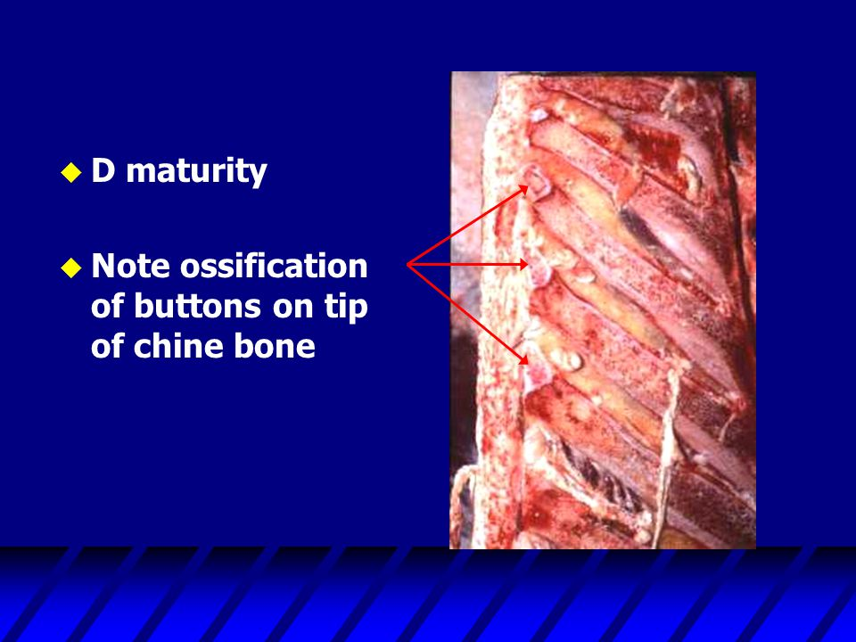 u D maturity u Note ossification of buttons on tip of chine bone