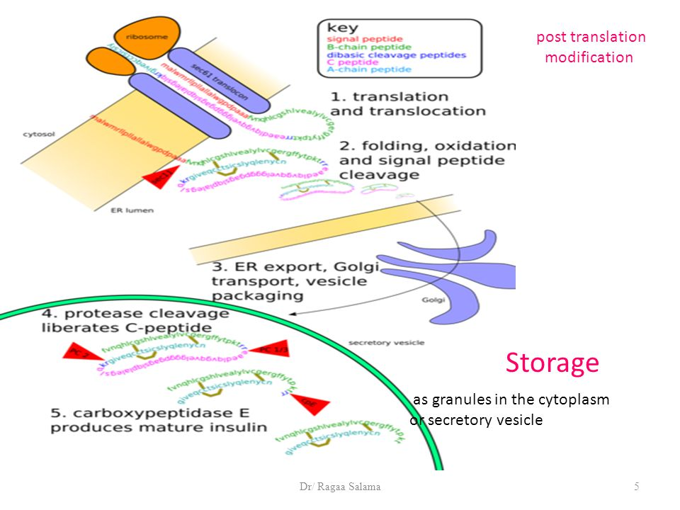 Dr/ Ragaa Salama5 Storage as granules in the cytoplasm or secretory vesicle post translation modification