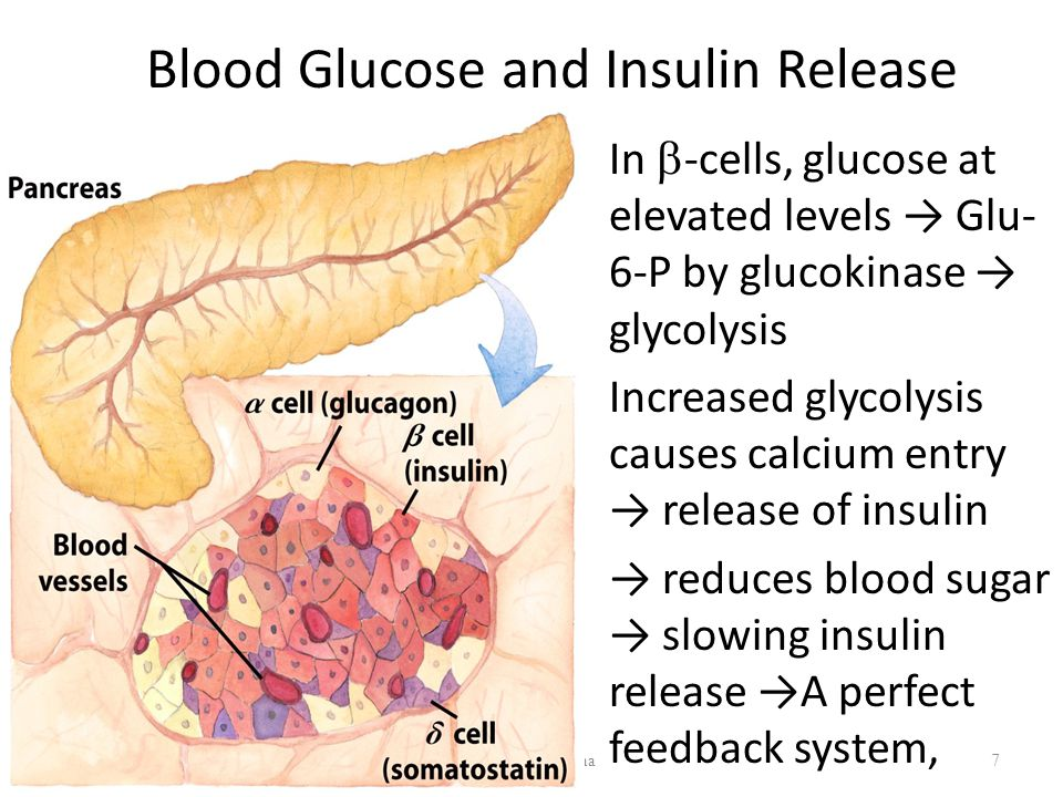 Dr/ Ragaa Salama7 Blood Glucose and Insulin Release In  -cells, glucose at elevated levels → Glu- 6-P by glucokinase → glycolysis Increased glycolysis causes calcium entry → release of insulin → reduces blood sugar → slowing insulin release →A perfect feedback system,