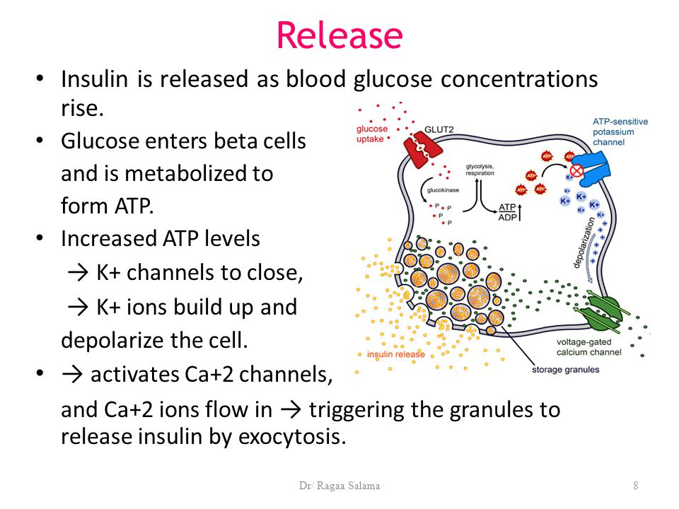 Dr/ Ragaa Salama8 Release Insulin is released as blood glucose concentrations rise. Glucose enters beta cells and is metabolized to form ATP. Increase
