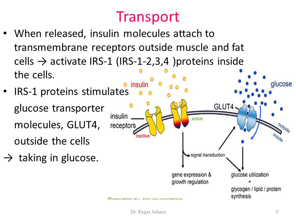 Dr/ Ragaa Salama9 Transport When released, insulin molecules attach to transmembrane receptors outside muscle and fat cells → activate IRS-1 (IRS-1-2,