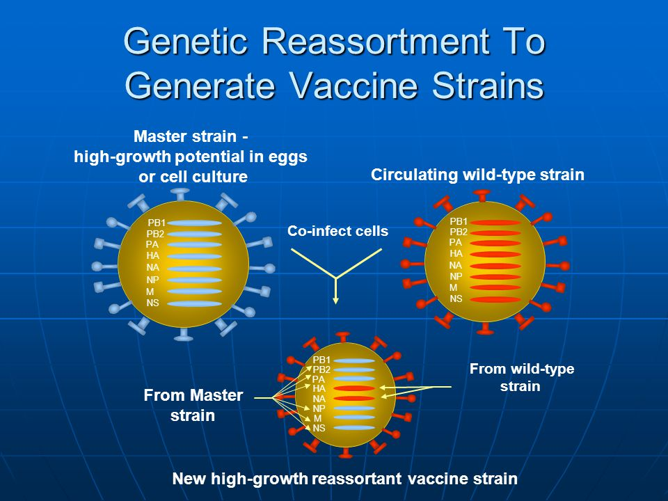 Circulating wild-type strain Master strain - high-growth potential in eggs or cell culture Co-infect cells PB1 PB2 PA HA NA NP M NS PB1 PB2 PA HA NA NP M NS From wild-type strain PB1 PB2 PA HA NA NP M NS Genetic Reassortment To Generate Vaccine Strains From Master strain New high-growth reassortant vaccine strain