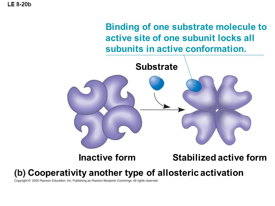 LE 8-20b Substrate Binding of one substrate molecule to active site of one subunit locks all subunits in active conformation. Cooperativity another ty