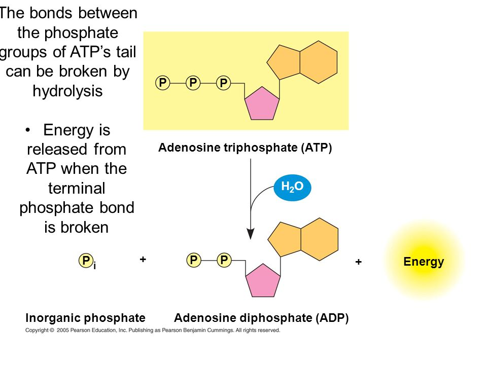 Adenosine triphosphate (ATP) Energy PP P PP P i Adenosine diphosphate (ADP) Inorganic phosphate H2OH2O + + The bonds between the phosphate groups of A