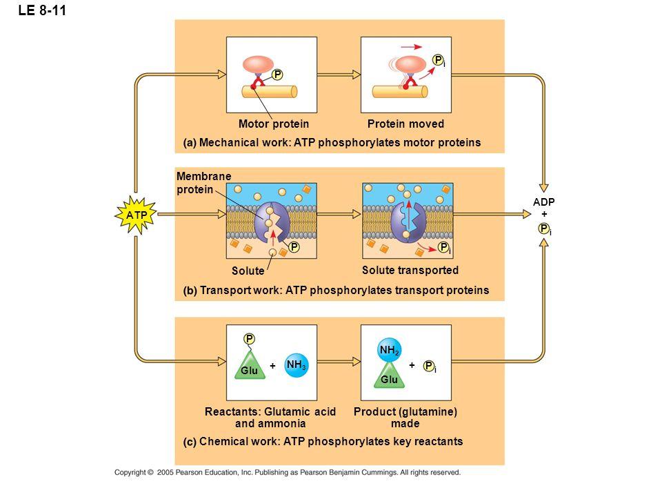 LE 8-11 NH 2 Glu P i P i P i P i NH 3 P P P ATP ADP Motor protein Mechanical work: ATP phosphorylates motor proteins Protein moved Membrane protein So