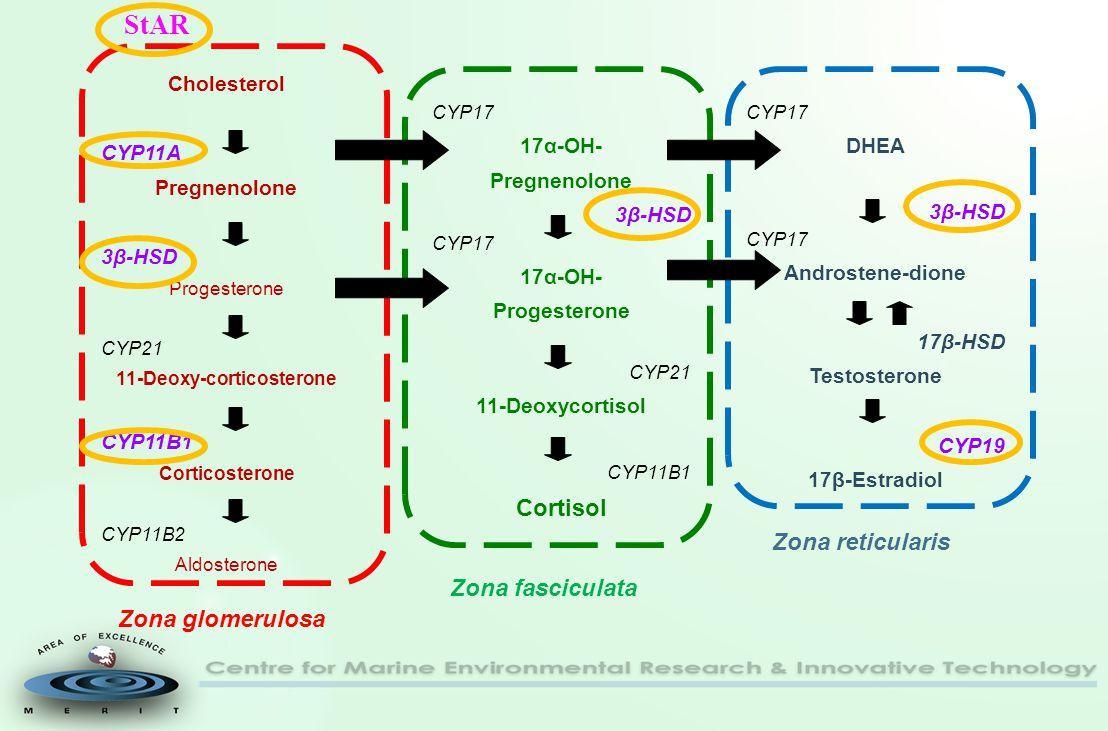 Cholesterol CYP11A Pregnenolone 3β-HSD Progesterone CYP21 11-Deoxy-corticosterone CYP11B1 Corticosterone CYP11B2 Aldosterone CYP17 17α-OH- Pregnenolone 3β-HSD CYP17 17α-OH- Progesterone CYP21 11-Deoxycortisol CYP11B1 Cortisol CYP17 DHEA 3β-HSD CYP17 Androstene-dione 17β-HSD Testosterone CYP19 17β-Estradiol Zona glomerulosa Zona fasciculata Zona reticularis StAR