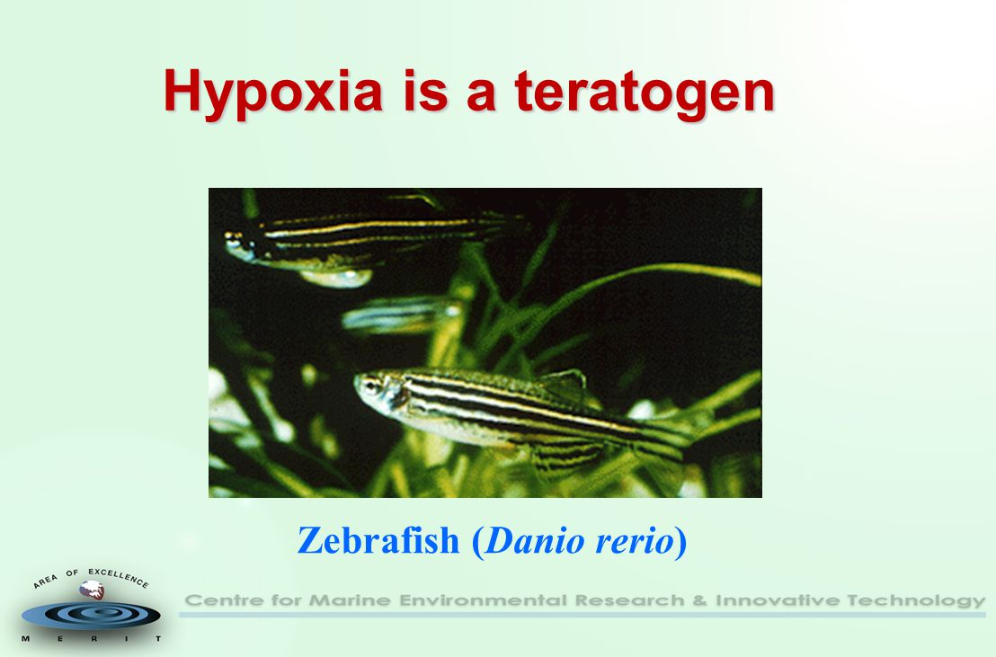 Hypoxia is a teratogen Zebrafish (Danio rerio)
