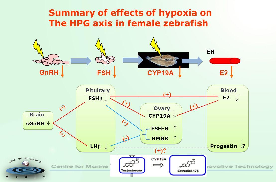 Brain Pituitary Ovary Blood sGnRH FSH LH (+) FSH-R HMGR (-)(-) (-)(-) Progestin .
