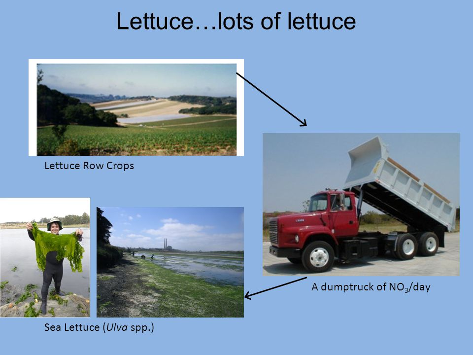 Lettuce…lots of lettuce Lettuce Row Crops A dumptruck of NO 3 /day Sea Lettuce (Ulva spp.)