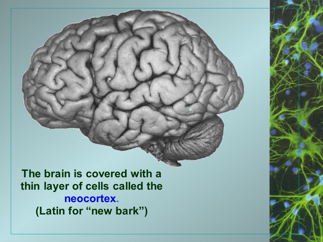 "The brain is covered with a thin layer of cells called the neocortex. (Latin for ""new bark"")"