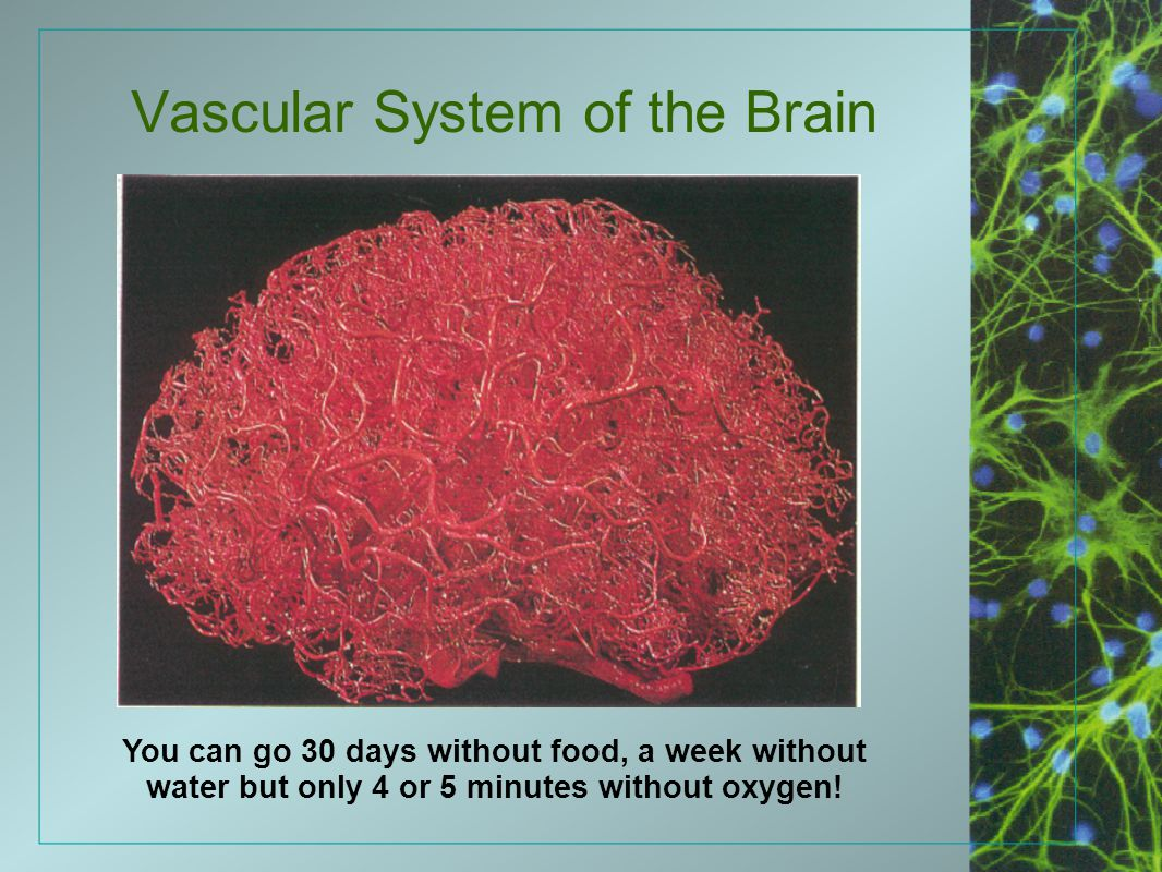 Vascular System of the Brain You can go 30 days without food, a week without water but only 4 or 5 minutes without oxygen!