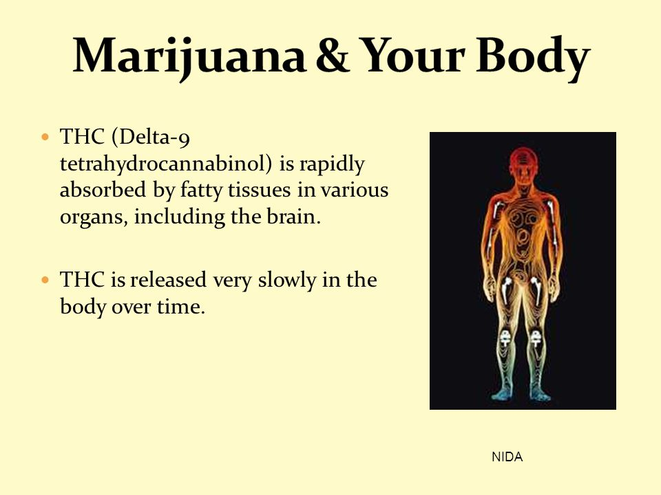 THC (Delta-9 tetrahydrocannabinol) is rapidly absorbed by fatty tissues in various organs, including the brain. THC is released very slowly in the bod