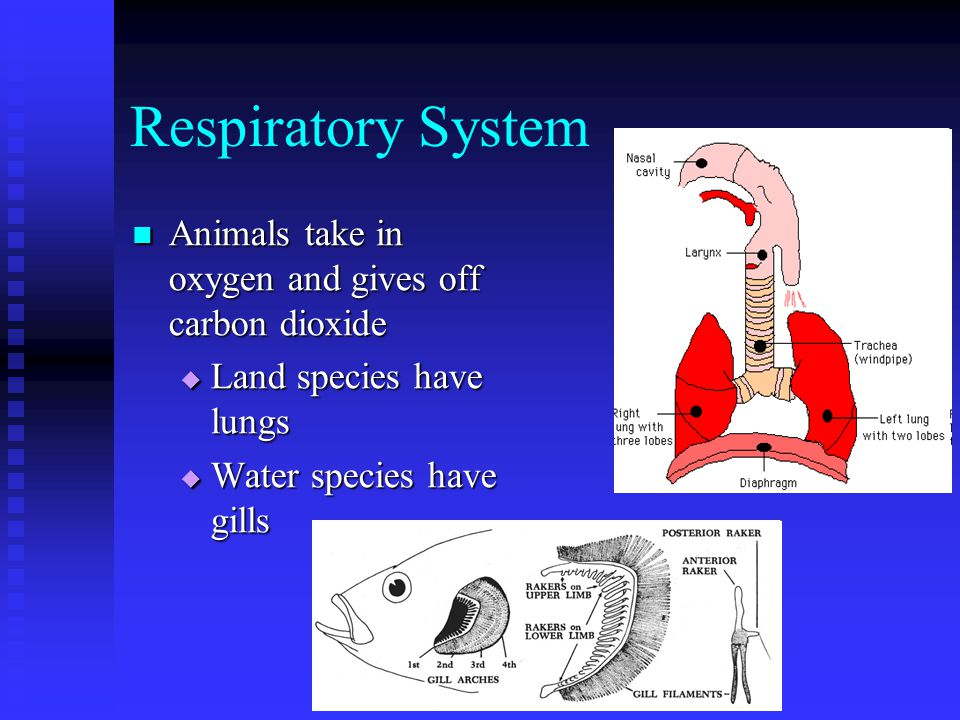 Respiratory System Animals take in oxygen and gives off carbon dioxide Animals take in oxygen and gives off carbon dioxide  Land species have lungs  Water species have gills