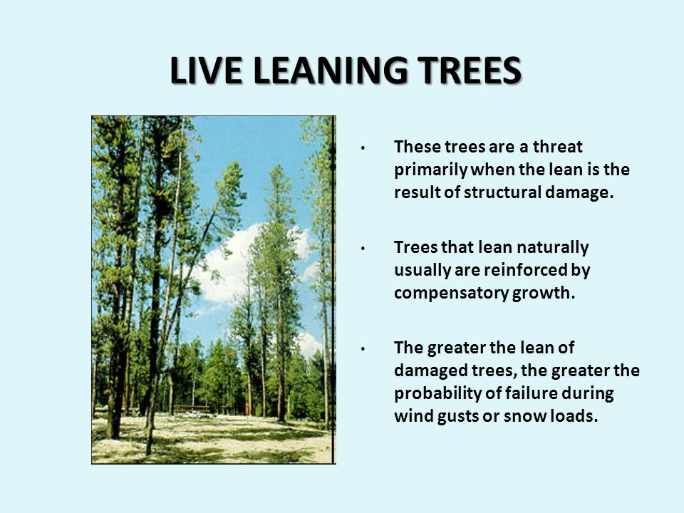 LIVE LEANING TREES LIVE LEANING TREES These trees are a threat primarily when the lean is the result of structural damage.