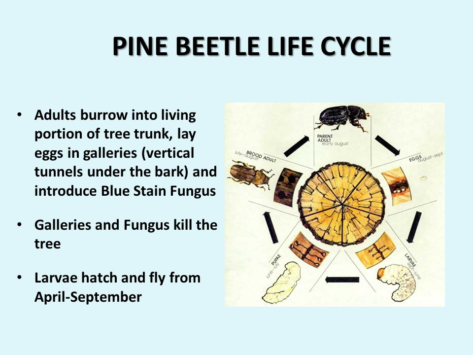 PINE BEETLE LIFE CYCLE Adults burrow into living portion of tree trunk, lay eggs in galleries (vertical tunnels under the bark) and introduce Blue Stain Fungus Galleries and Fungus kill the tree Larvae hatch and fly from April-September