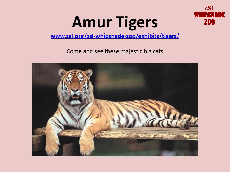 Amur Tigers www.zsl.org/zsl-whipsnade-zoo/exhibits/tigers/ Come and see these majestic big cats www.zsl.org/zsl-whipsnade-zoo/exhibits/tigers/
