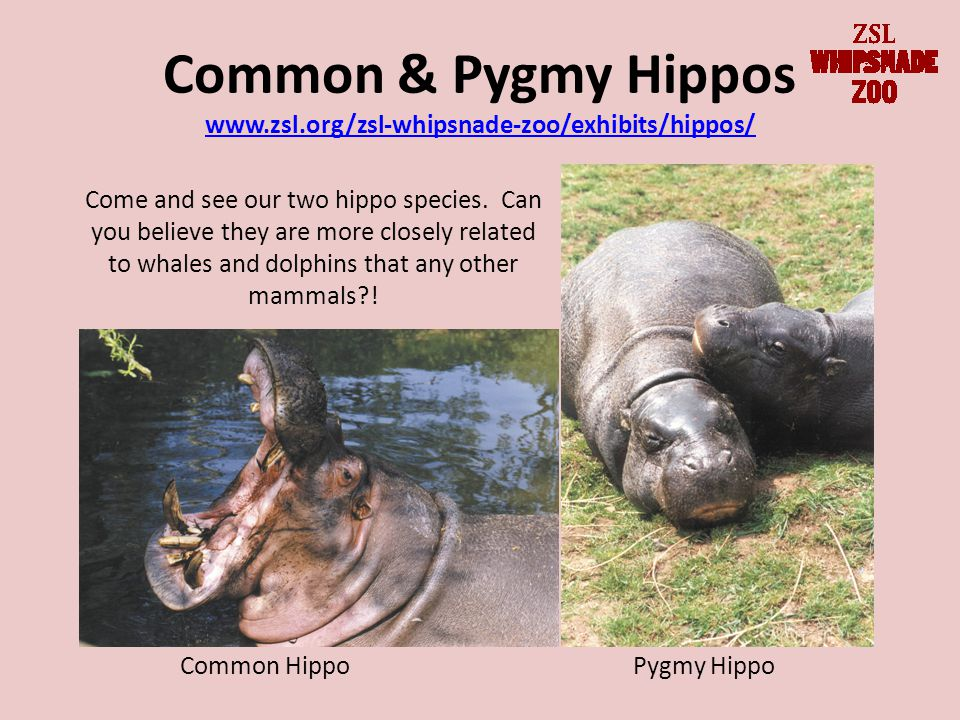 Common & Pygmy Hippos www.zsl.org/zsl-whipsnade-zoo/exhibits/hippos/ www.zsl.org/zsl-whipsnade-zoo/exhibits/hippos/ Common HippoPygmy Hippo Come and see our two hippo species.