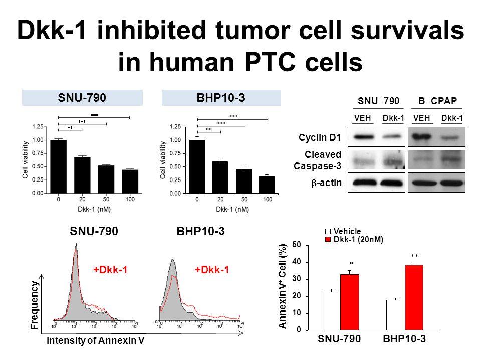 SNU-790     BHP10-3 Cyclin D1 SNU  790 B  CPAP  -actin Cleaved Caspase-3 Frequency Intensity of Annexin V VEHDkk-1 +Dkk-1 Dkk-1 inhibited tumor cell survivals in human PTC cells VEHDkk-1 SNU-790BHP10-3 Vehicle Dkk-1 (20nM)   Annexin V + Cell (%) +Dkk-1 BHP10-3SNU-790