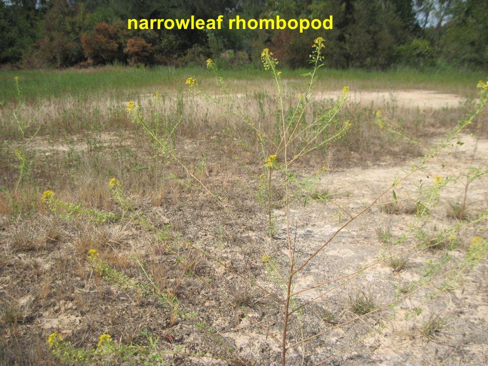 narrowleaf rhombopod