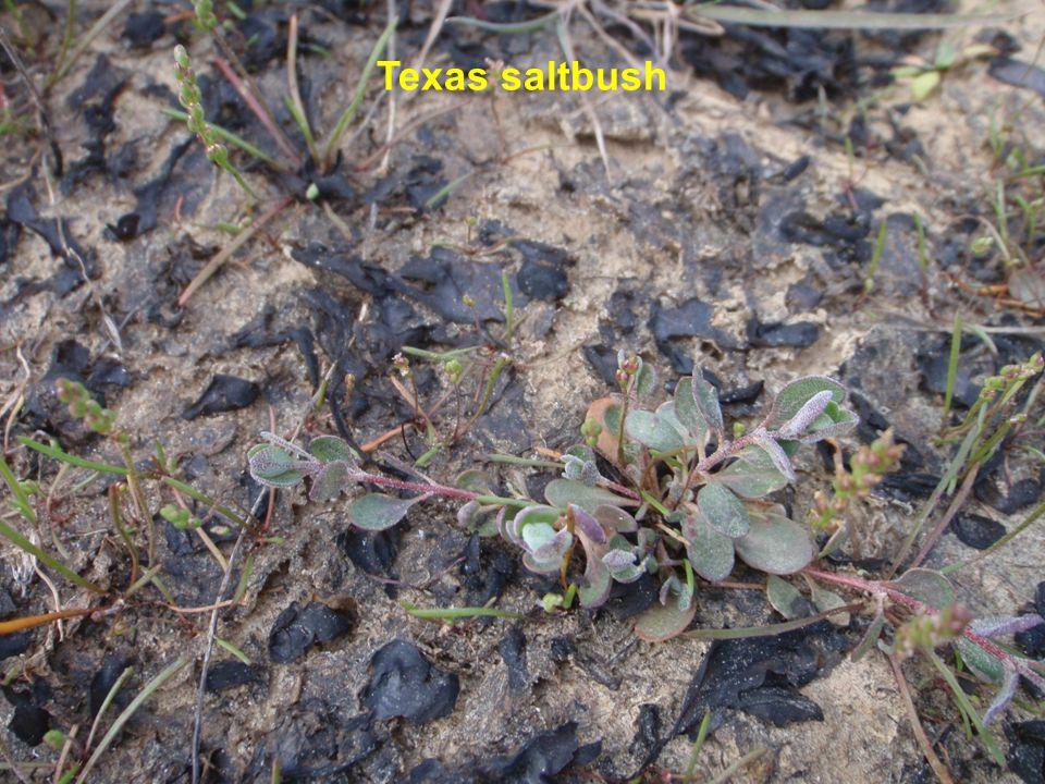 Texas saltbush