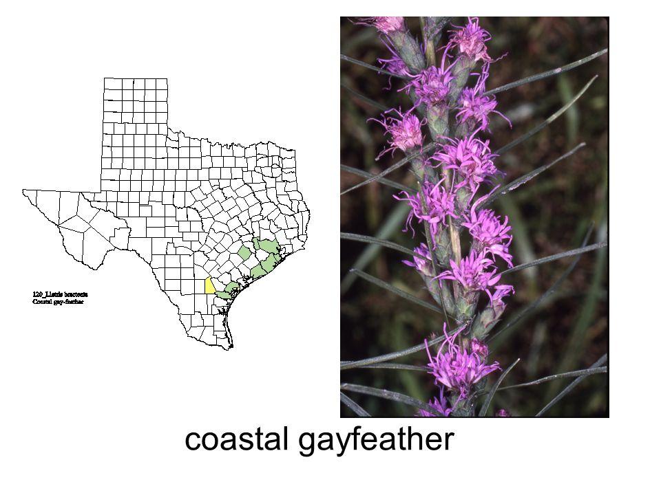 coastal gayfeather